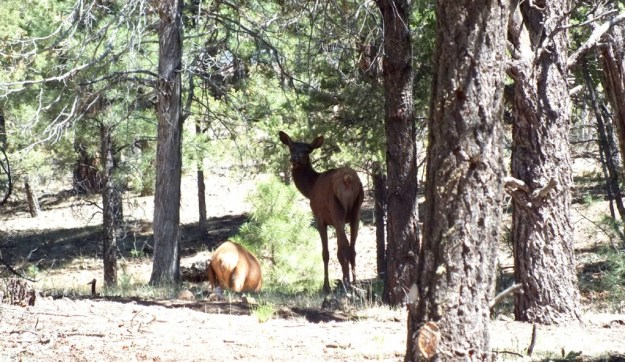 elk in forest, grand canyon 1