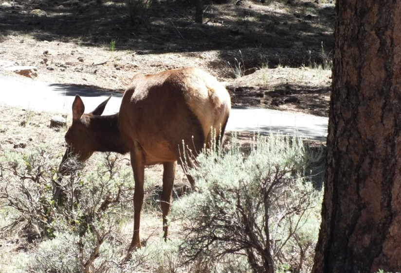 elk in meadow, grand canyon 2