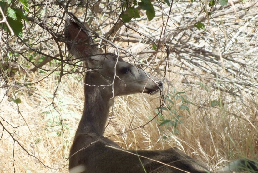 grand canyon - mule deer under tree
