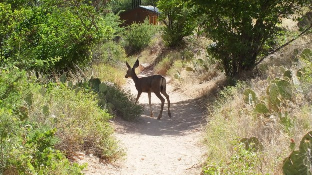 mule deer at indian garden - grand canyon