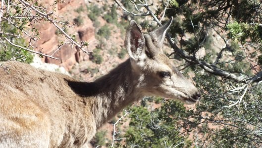 mule deer, grand canyon national park