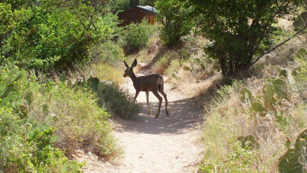 mule deer on bright angel trail 37
