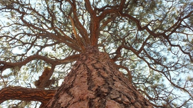 Trunk of a Ponderosa pine growing at Grand Canyon National Park in Arizona, USA