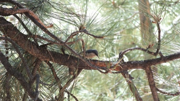 Pygmy nuthatch at Grand Canyon National Park in Arizona, USA