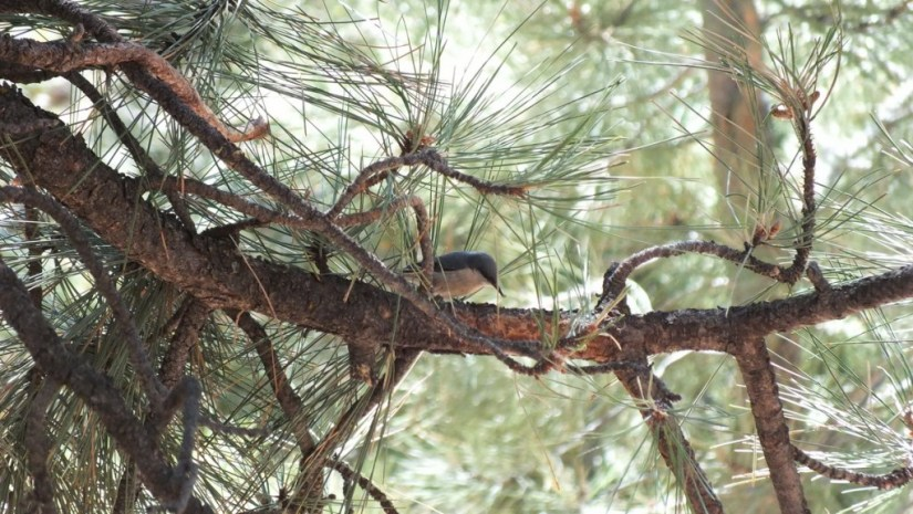 pygmy nuthatch - grand canyon 7