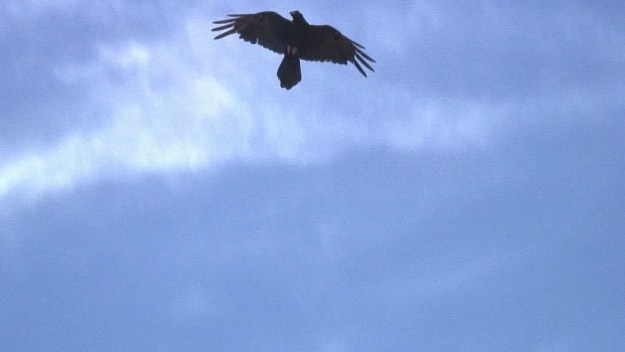 A Common Raven in flight at Grand Canyon National Park in Arizona, U.S.A.