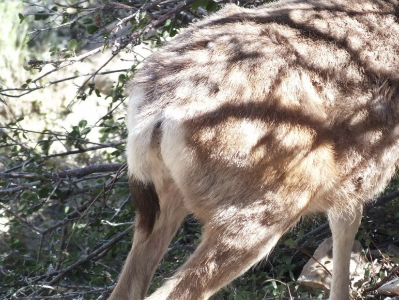 tail of a mule deer - grand canyon