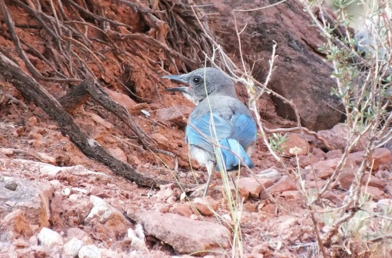 western scrub jay bright angel trail 15