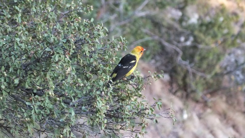 western tanager at grand canyon 6b