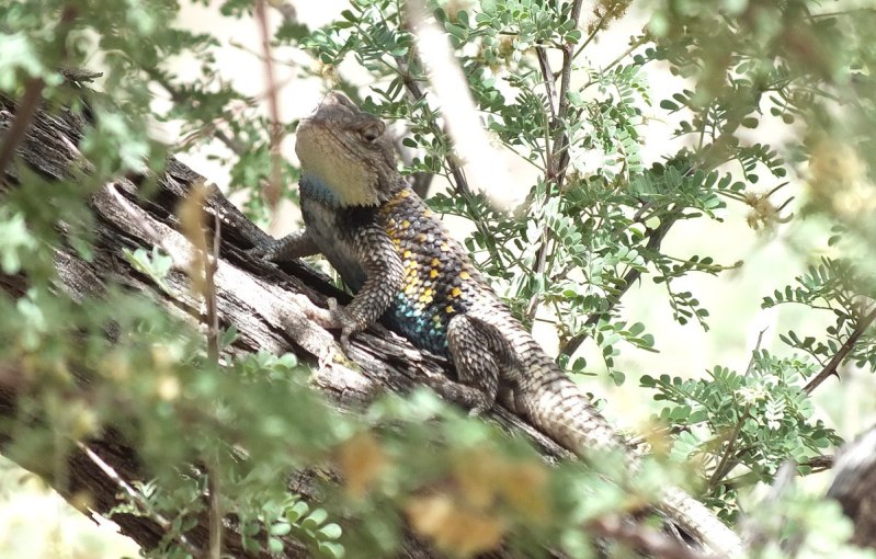 yellow-backed spiny lizard 22