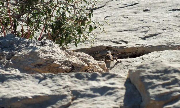 Northern Sagebrush Lizard north rim grand canyon 4