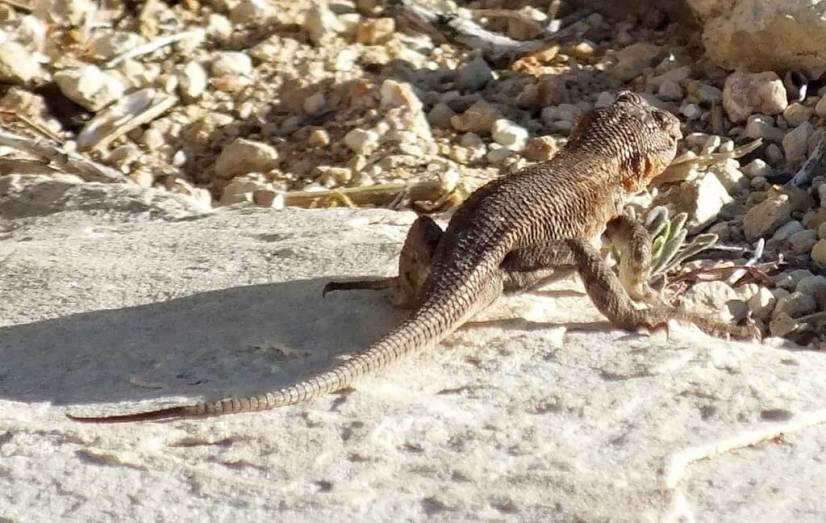 Northern Sagebrush Lizard north rim grand canyon 7