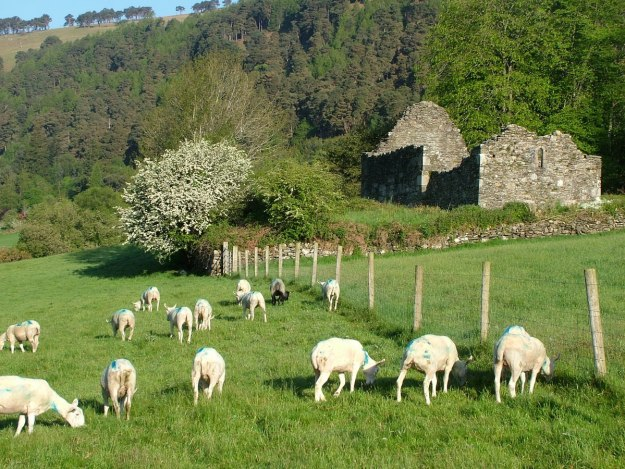 Sheep in a field beside Glendalough Cathedral graveyard - Ireland