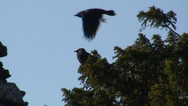 black birds at glendalough