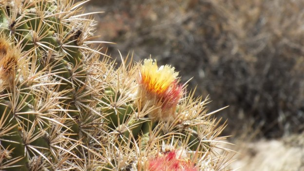 cactus flowers, plateau point trail 5