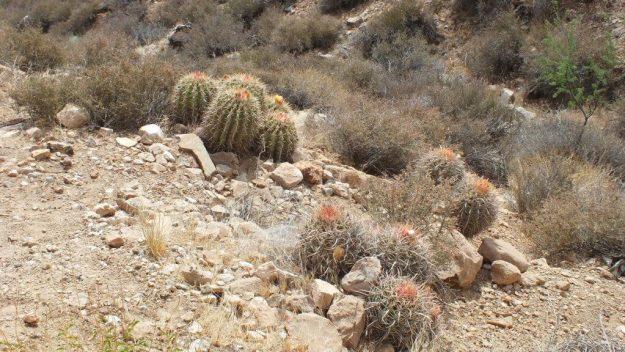 cactus on plateau point trail 4