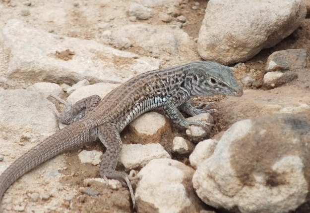 northern whiptail lizard - grand canyon 5