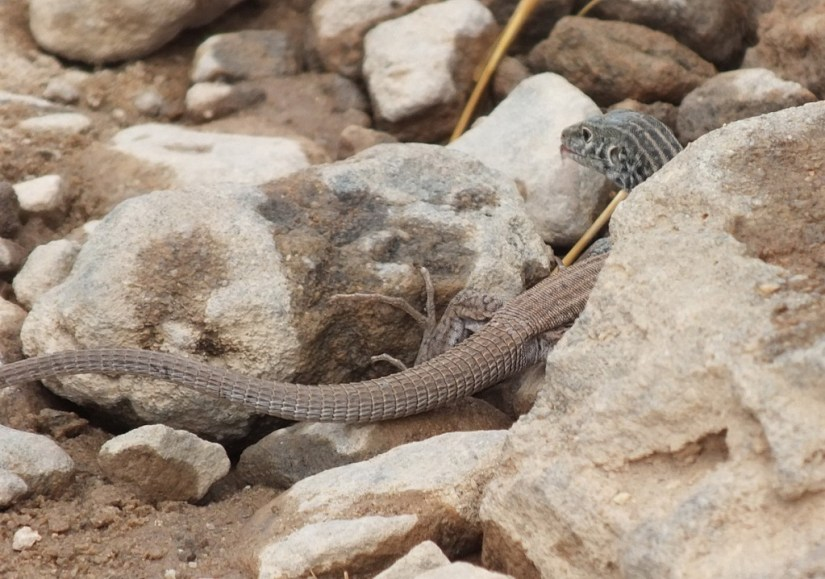 northern whiptail lizard - grand canyon 8