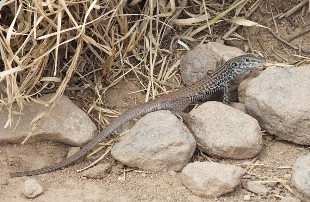 northern whiptail lizard, plateau point trail 14