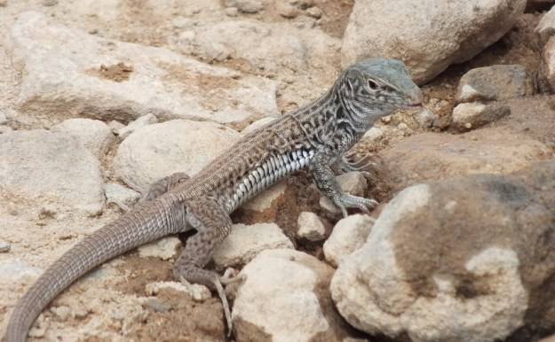 northern whiptail lizard, plateau trail 15