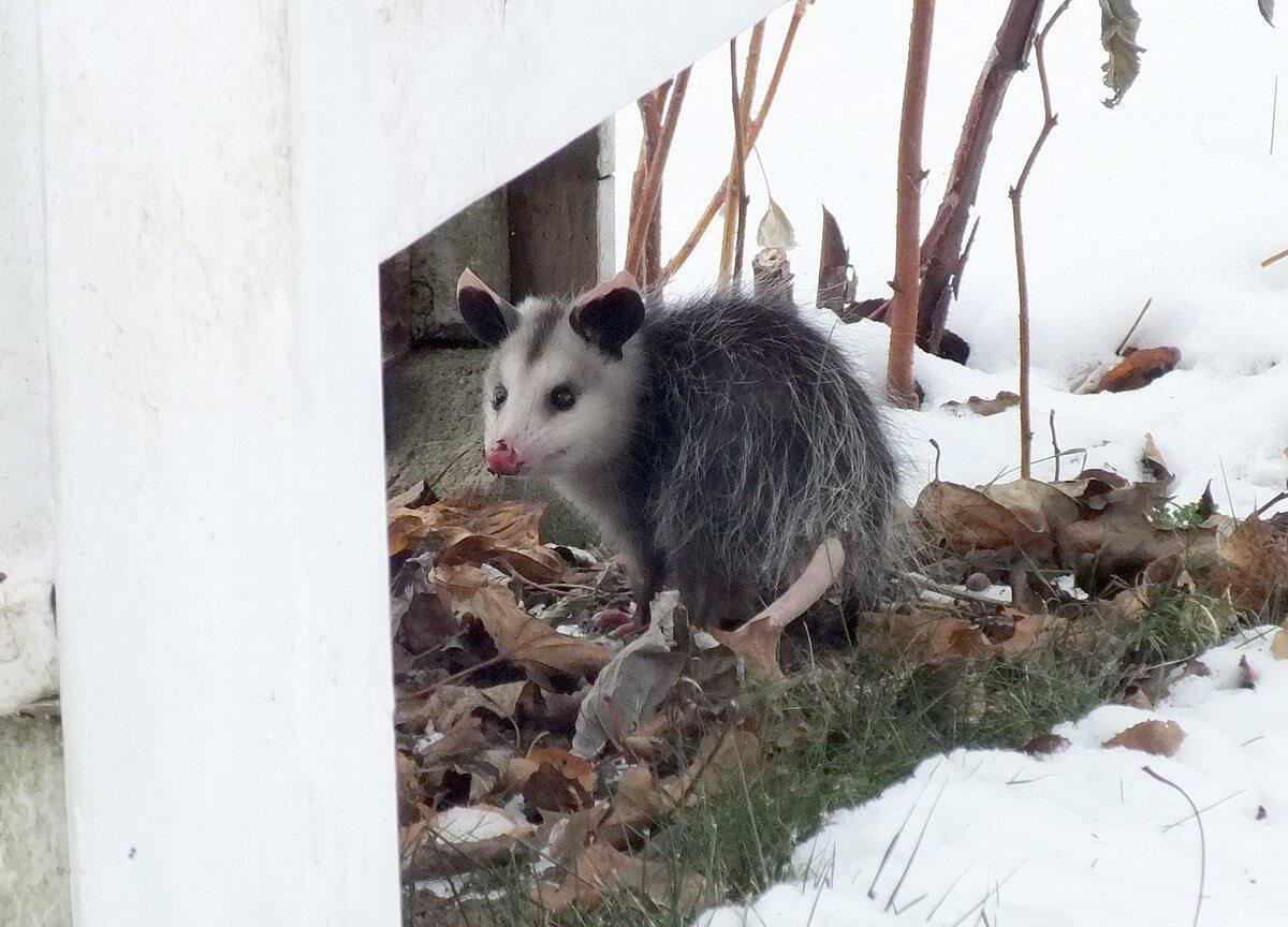 Opossums In My Toronto Backyard