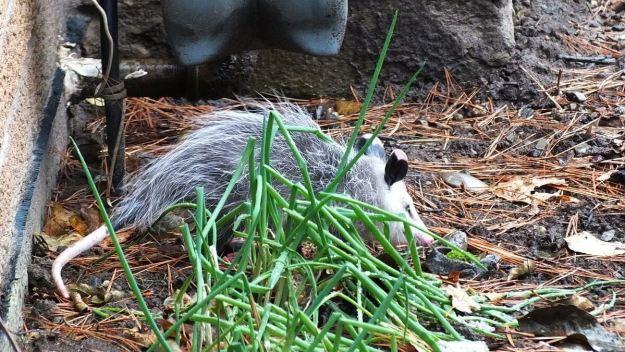 opossum toronto 12