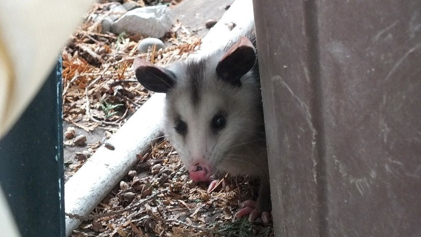 an opossum in a toronto backyard, ontario