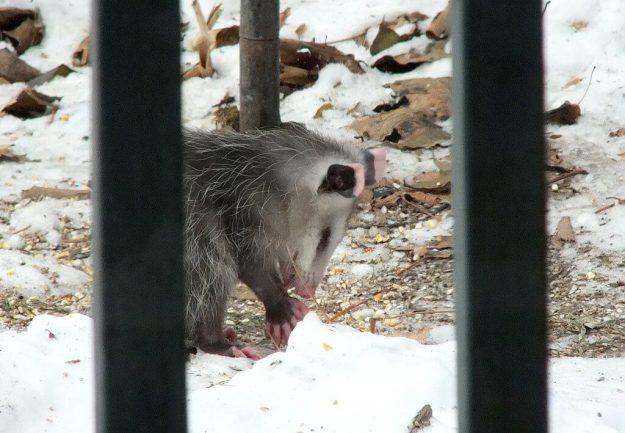 opossum toronto 6