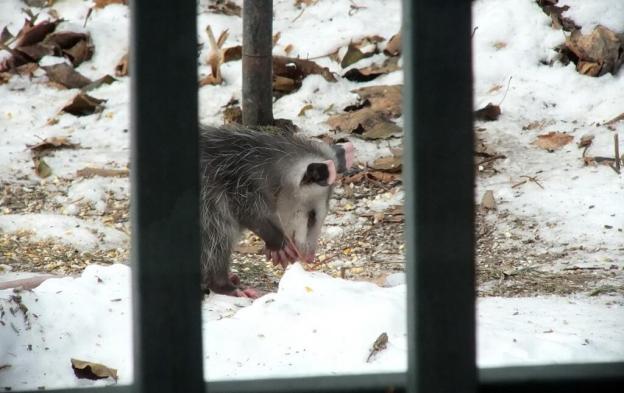 opossum toronto 7