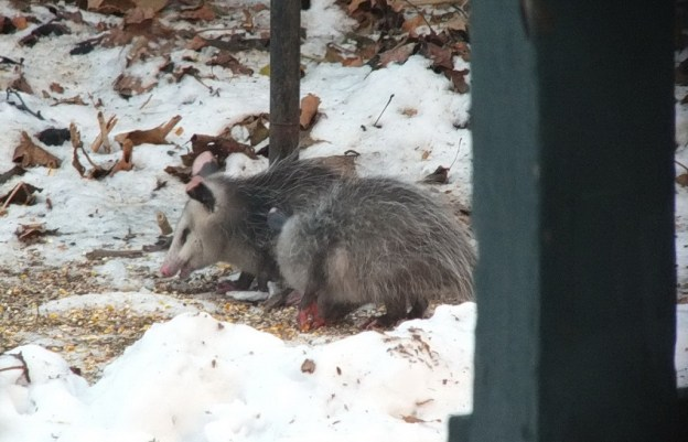 opossum toronto 9