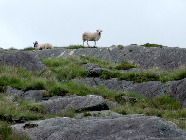 sheep in caha mountains, ireland 4