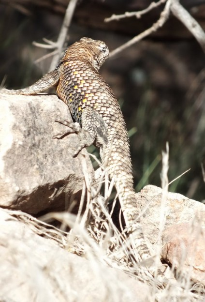yellow-backed spiny lizard 1