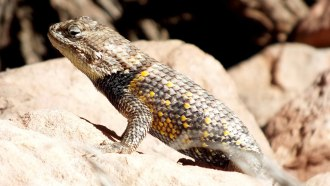 yellow-backed spiny lizard 11