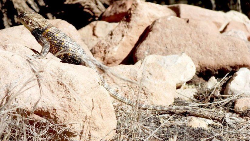 yellow-backed spiny lizard 12