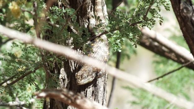 yellow-backed spiny lizard 3