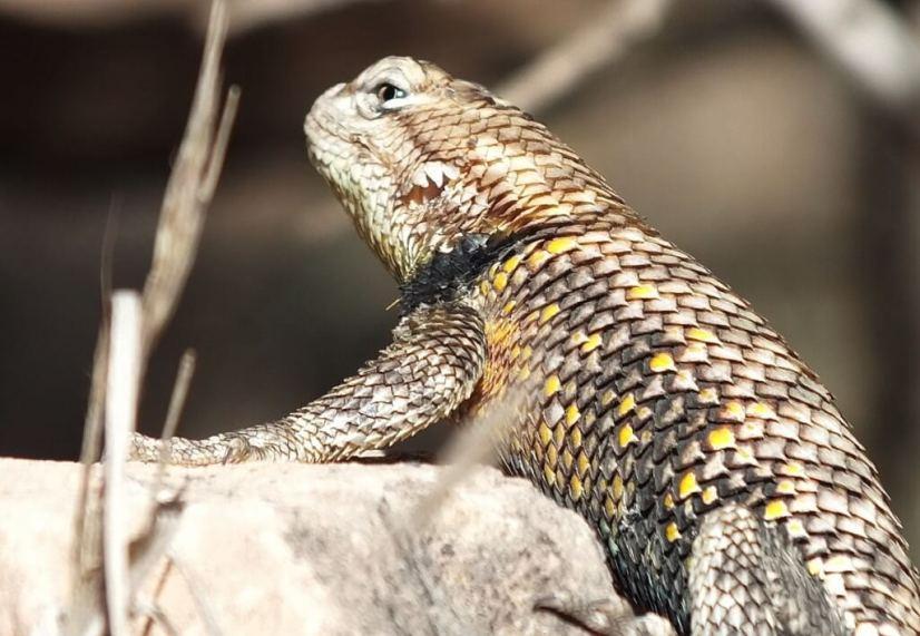 yellow-backed spiny lizard 5