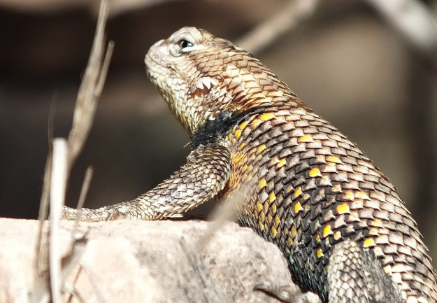 yellow-backed spiny lizard 5