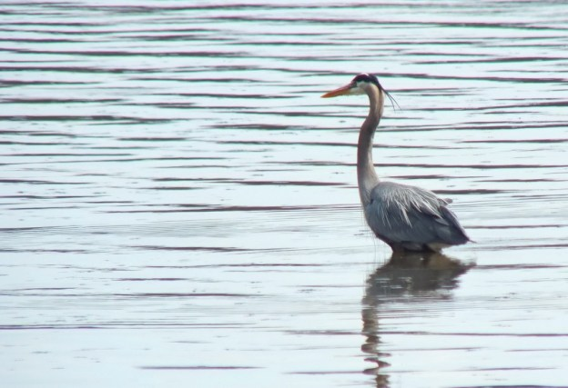 Great Blue Heron - fishing at Cootes Paradise Swamp - Burlington - Ontario