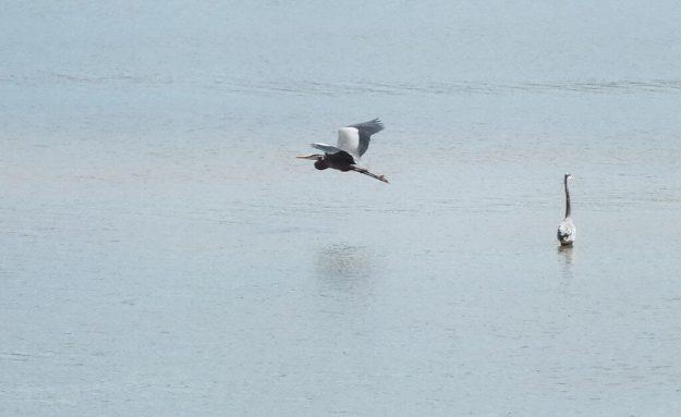 Great Blue Heron flies past another Blue Heron -- Cootes Paradise Swamp - Burlington - Ontario