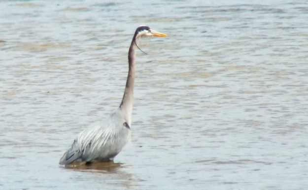Great Blue Heron - looking far a fish at Cootes Paradise Swamp - Burlington - Ontario