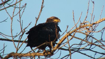 Immature Bald Eagle - Boundary Bay - BC - 4