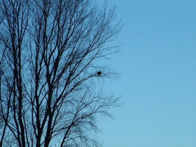 Immature Bald Eagle in tree at Boundary Bay