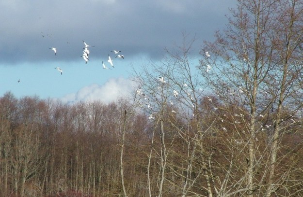 Lesser Snow Geese fly above trees - reifel migratory bird sanctuary