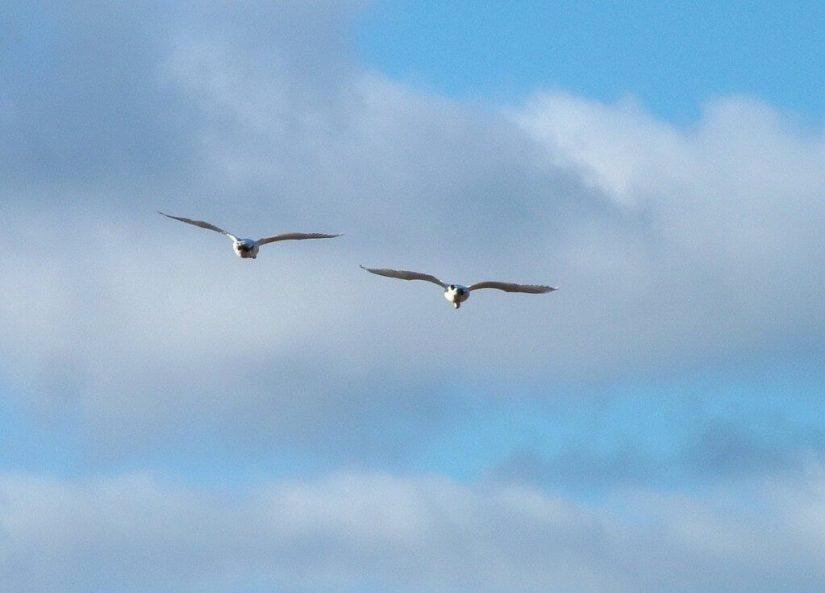 Lesser Snow Geese in flight - reifel migratory bird sanctuary