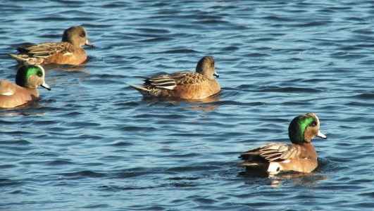 american wigeon at boundary bay - bc 6