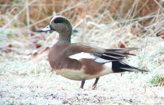 american wigeon ducks - comox - bc 6