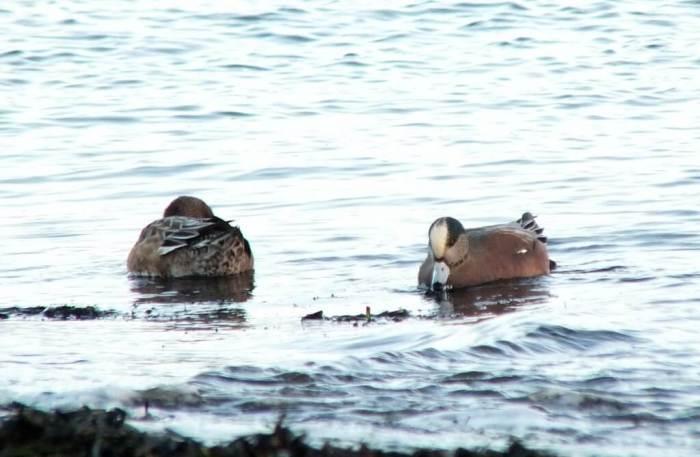 american wigeons at boundary bay - bc