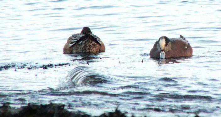 american wigeons at boundary bay - bc 2