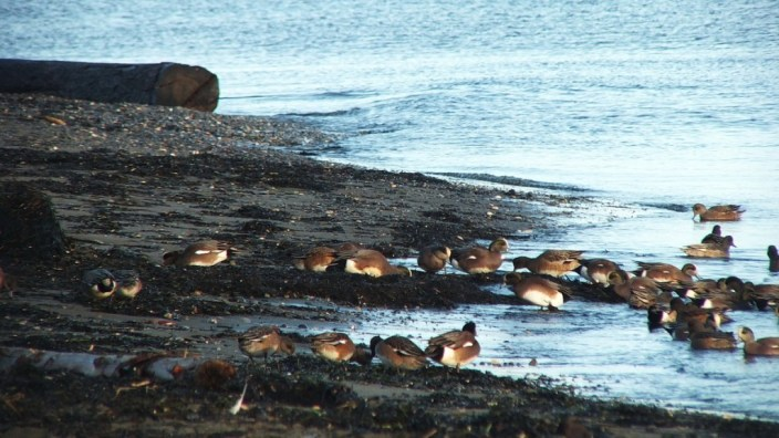 american wigeons at boundary bay - bc 4