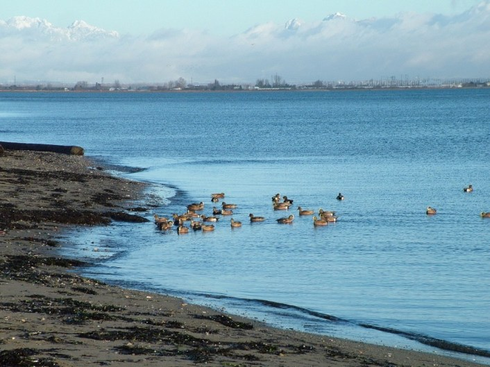 american wigeons at boundary bay - bc 7